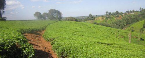 productive-tea-farm-for-sale-kiambu-town