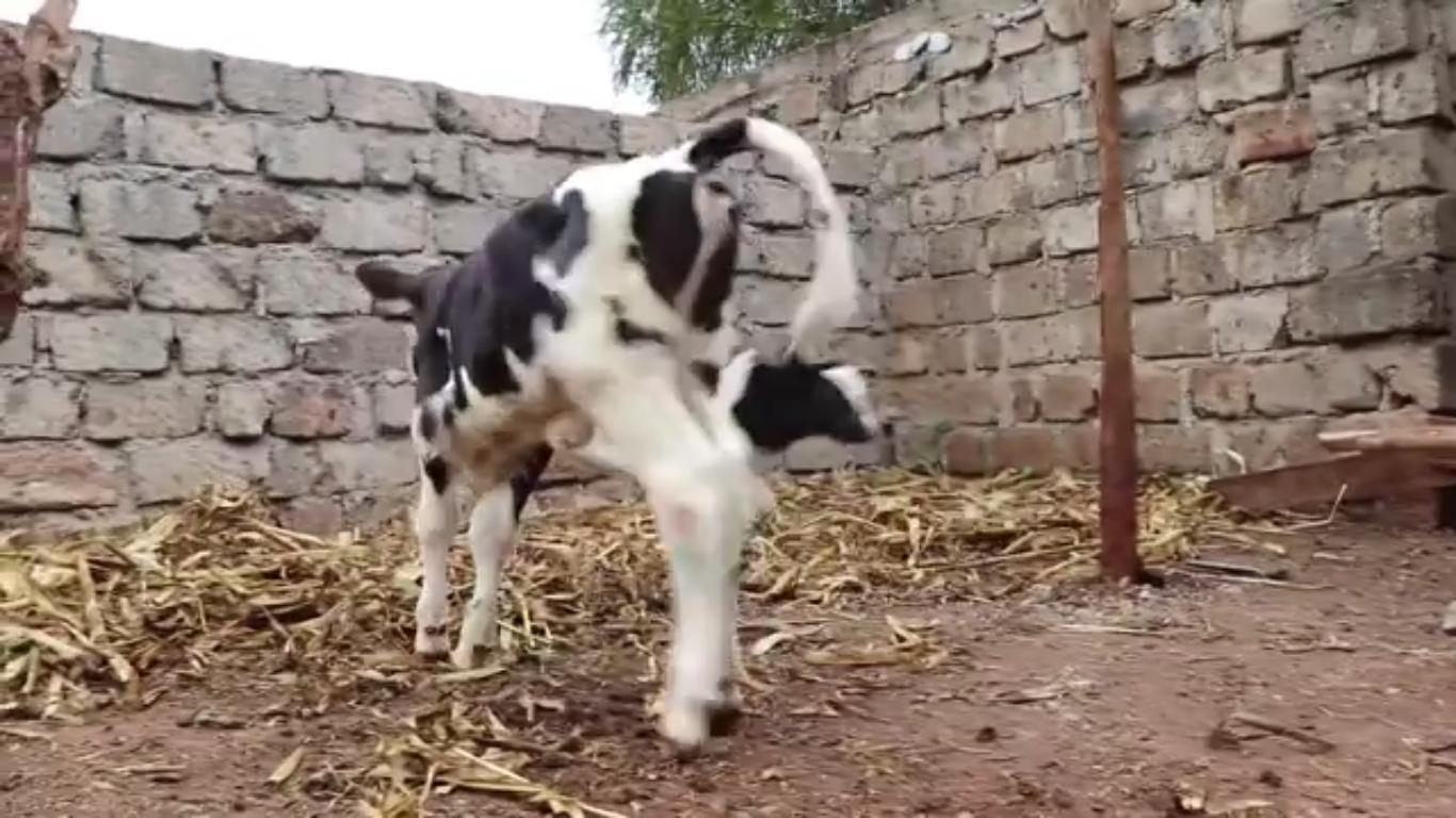 Calf Rearing Kiambu